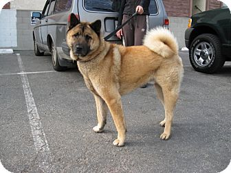 Pictures Of Max A Chow Chow Akita Mix For Adoption In Marina Del