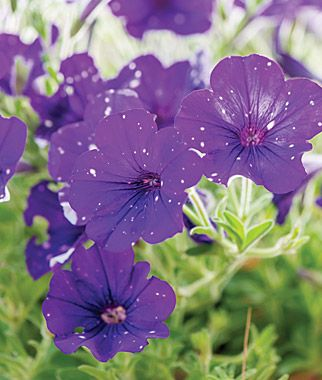 Petunia Night Sky Night Sky Petunia Petunia Flower Petunias