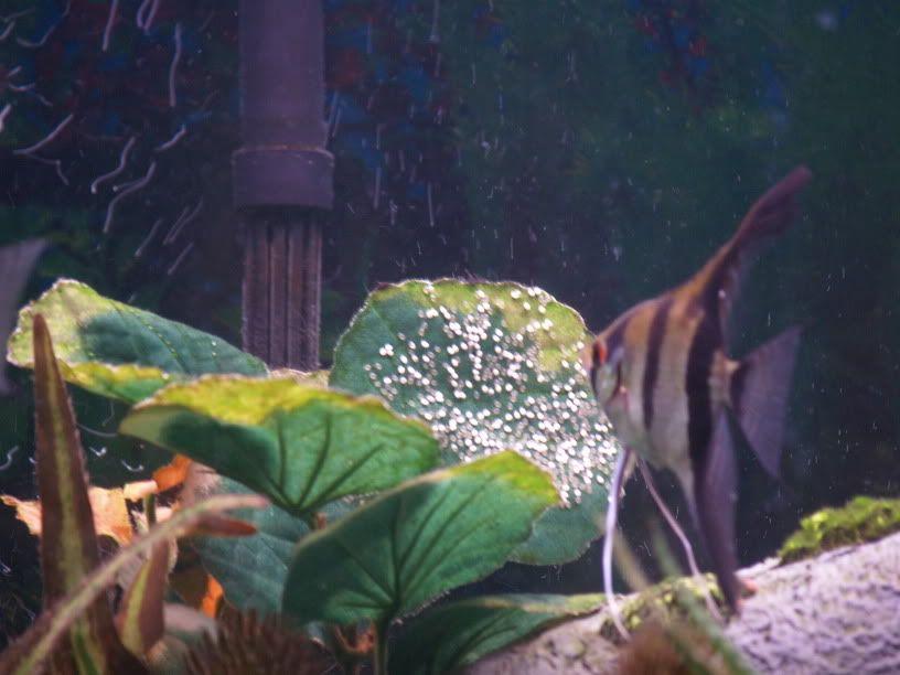 Freshwater Angelfish Eggs Hd Angelfish Eggs Aquarium Advice