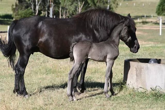 Morgan mare and foal.