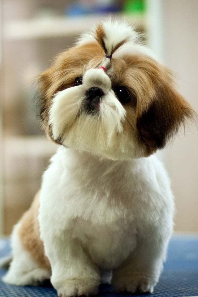 teddy haircut for shih tzu this teddy cut on my babies shih tzu 4468