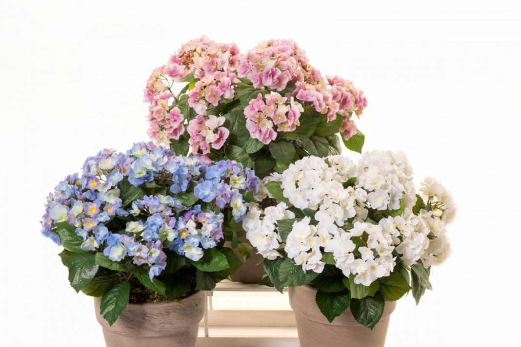 5 комнатных растений с самыми массивными соцветиями ...