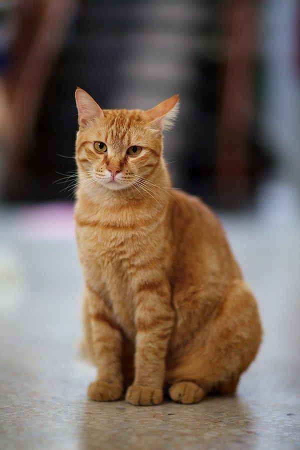 What S For Dinner Orange Tabby Cats Tabby Cat Cute Cats