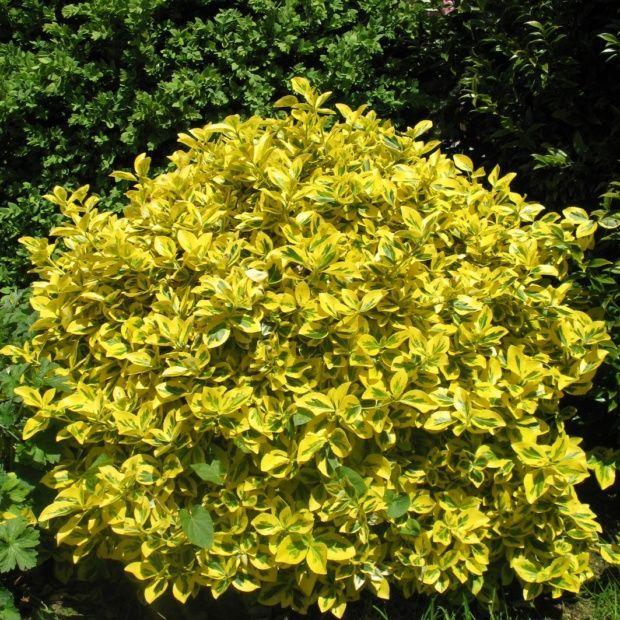 fusain du japon dor emerald n gold arbustes pinterest jaune vif vert fonc et arbuste. Black Bedroom Furniture Sets. Home Design Ideas