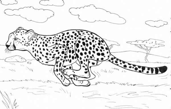 Cheetah Run Catch His Prey Coloring Page Animal Coloring Pages