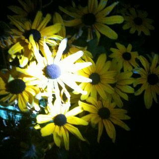 Took this pic at night with a flashlight! I love sunflowers!