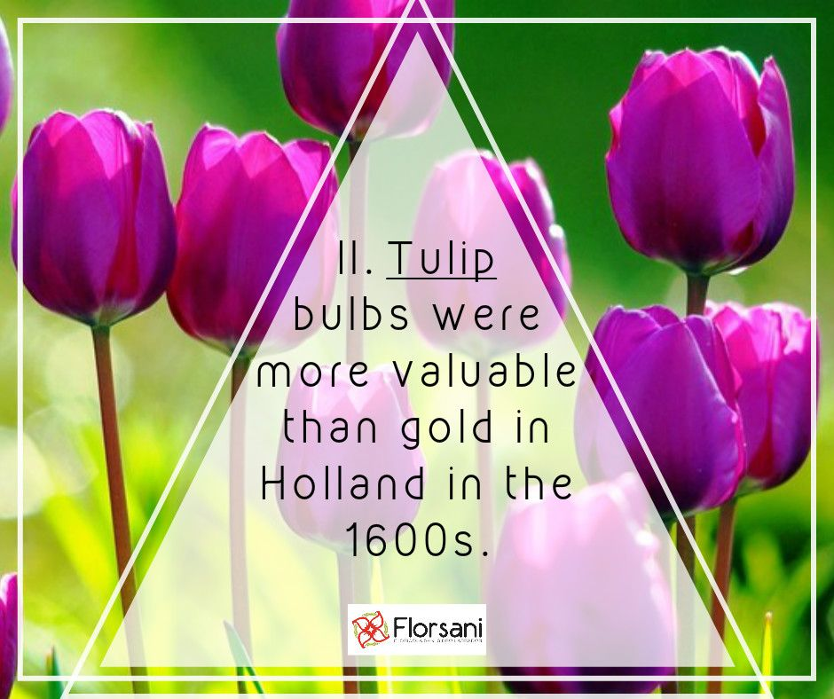 Florsani Flowers Flower Flor Floristry Tulip Bulb Hollandflower History Funfacts Nature Amazing Fleurs B Flower Decorations Tulip Bulbs Floristry