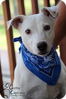 Columbia Md Jack Russell Terrier Whippet Mix Meet Monroe A Dog