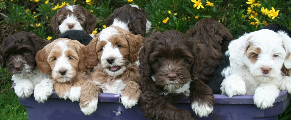 beautiful multi colored labradoodle puppies from previous