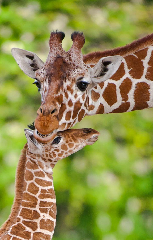 милый жираф картинка милый хочу