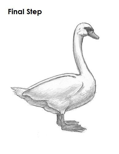 swan drawing final