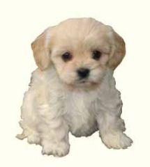 Cavachon Puppies For Sale Cavachon Dog Breed Cavachon Puppies