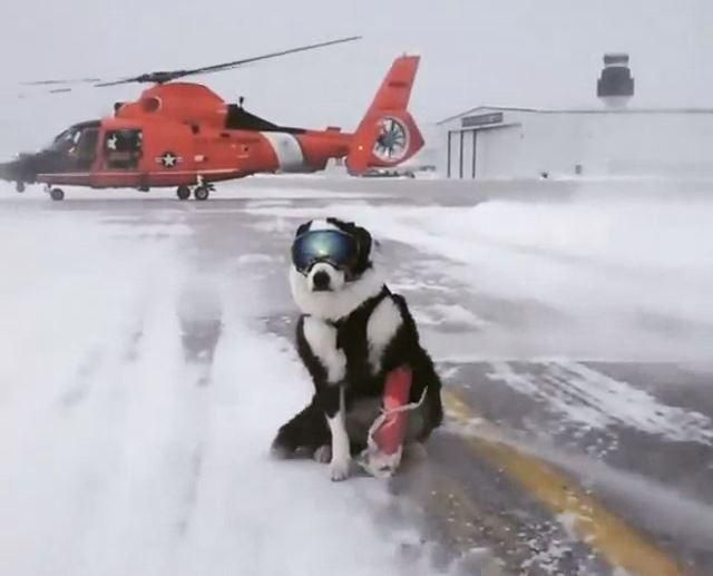 Traverse City Airport Dog Takes Internet By Storm Dogs Guard Dogs Working Dogs