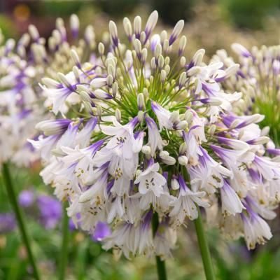 Southern Living Plant Collection 2 5 Qt Ever Twilight Agapanthus With Reblooming White And Violet Blue Flower Clusters In 2020 Agapanthus Flower Show Hardy Perennials