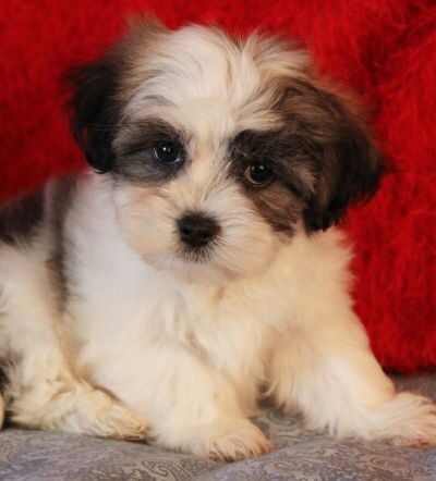 Chance Puppy Malshi Tricolor Cute Puppies Pedigree Dog