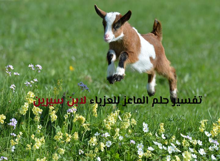 تفسير حلم الماعز للعزباء لابن سيرين والنابلسي موقع مصري Baby Goat Pictures Cute Goats Goat Picture