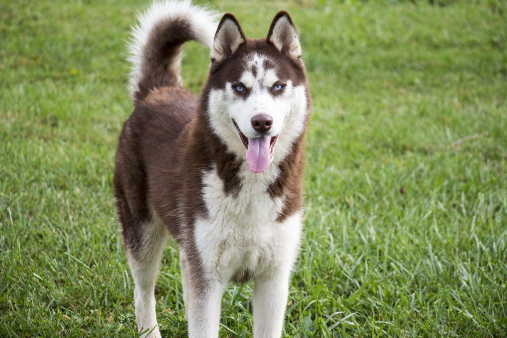 Beautiful Red And White Siberian Husky Husky Challenges