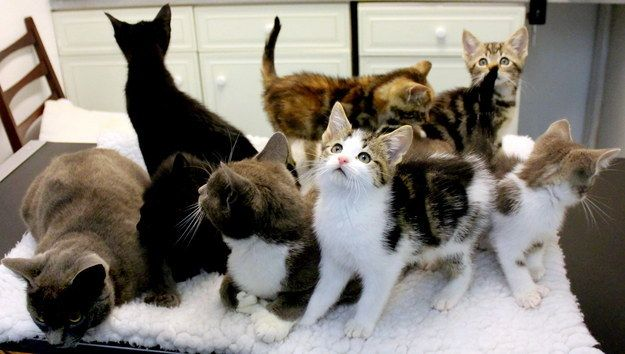 The Cats Protection Birmingham Adoption Centre Rescued The Eight Kittens Along With Their Mother In July 2014 Kittens Polydactyl Kitten Buy A Kitten