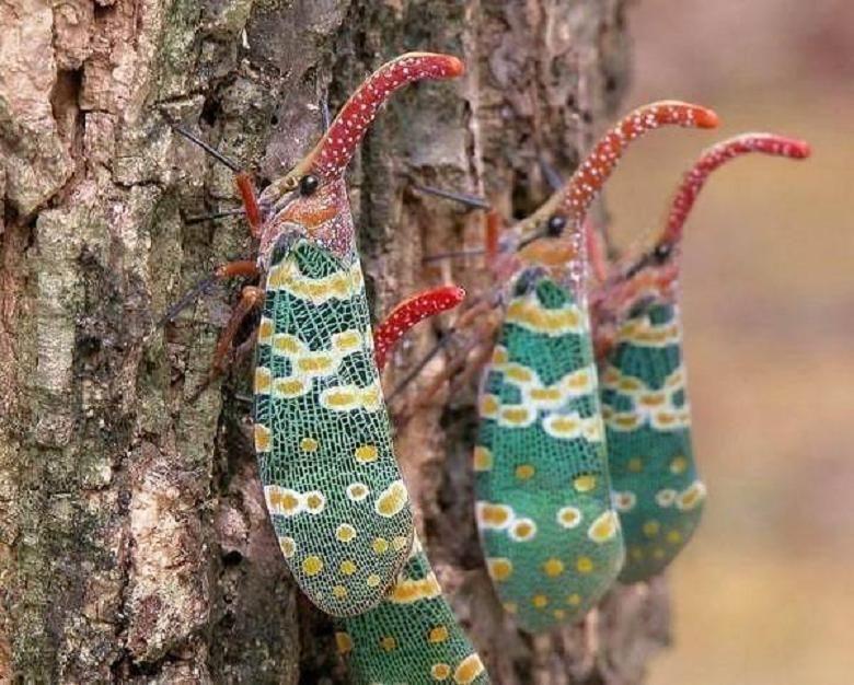 The Lantern Bug Pyrops Candelabria 虫 蝶 節足動物