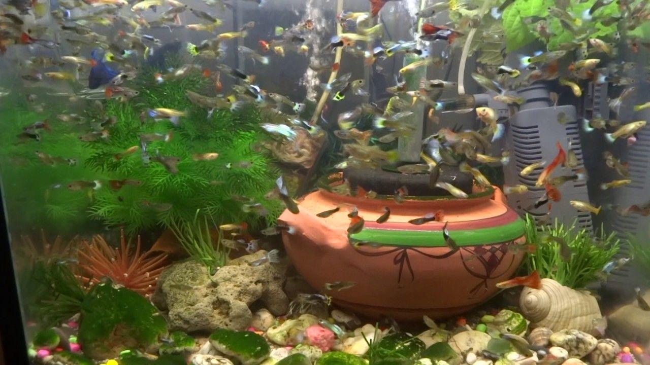 Fish aquarium oscar - Feeding My Fish Guppies Fish And My Two Big Oscar 2 Aquarium Tank