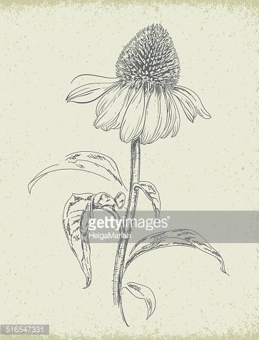 Purple Coneflower Echinacea Pencil Drawing Vector Art Flower Drawing Wildflower Drawing How To Draw Hands