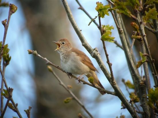 Have you heard a nightingale yet? These little lovelies are arriving at the moment and starting to sing the soundtrack to #spring Photo by Gareth Hughes