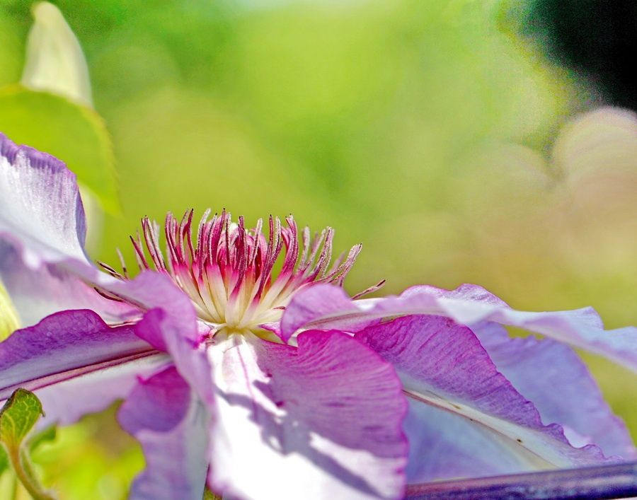 Clematis Profile by Mike Oberg on 500px