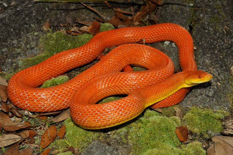 Fluorescent Orange Corn Snake Hypomelanistic ...
