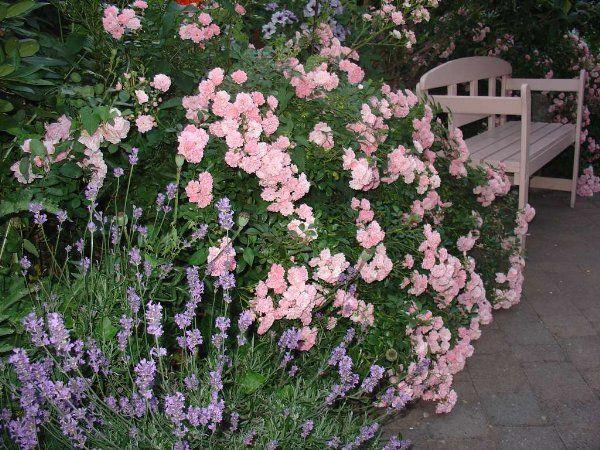 Bodendeckende Rosen The Fairy Roses Pinterest Fairy