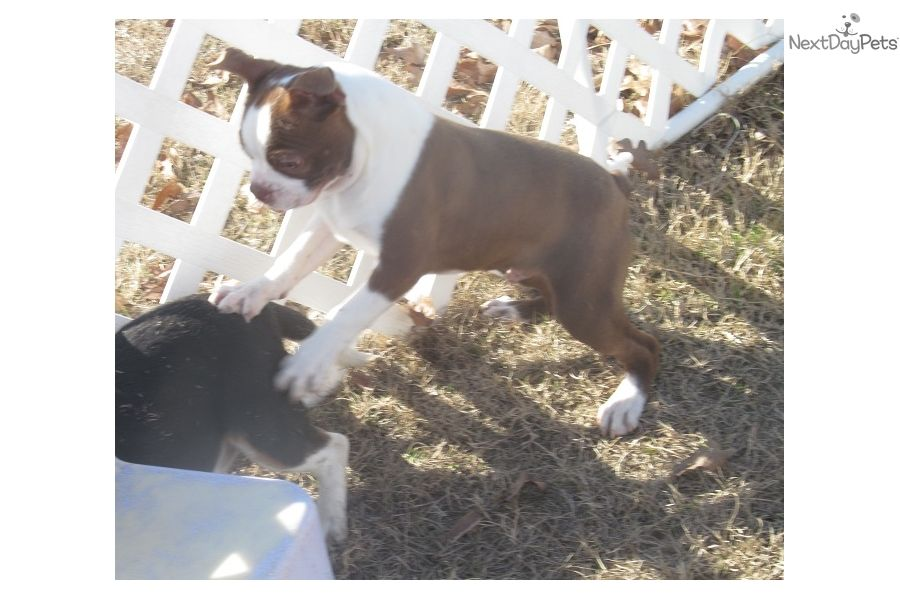 Boston Terrier Puppy For Sale Near Dallas X2f Fort Worth Texas