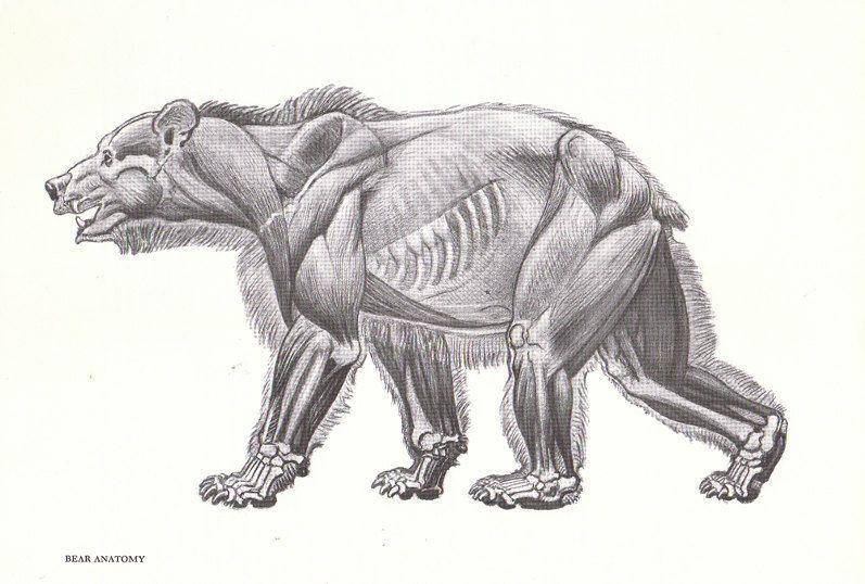 bear anatomy - Google Search | Inspiration | Pinterest | Skizze ...