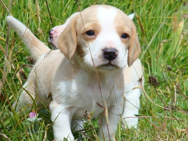How To Toilet Train A Dog Lemon Beagle Lemon Beagle Puppy