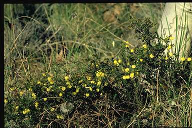 "Local ""rockery"" plants - Acacia Gunii (ploughshare wattle)"