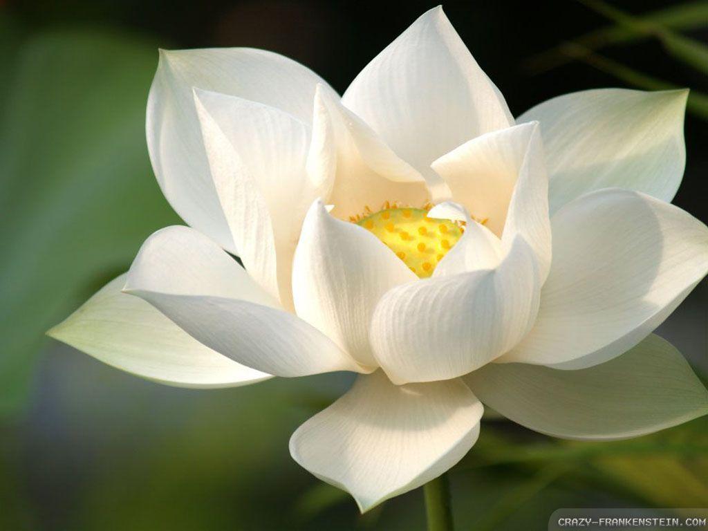 White lotus wallpapers crazy frankenstein lotus pinterest white lotus wallpapers crazy frankenstein mightylinksfo