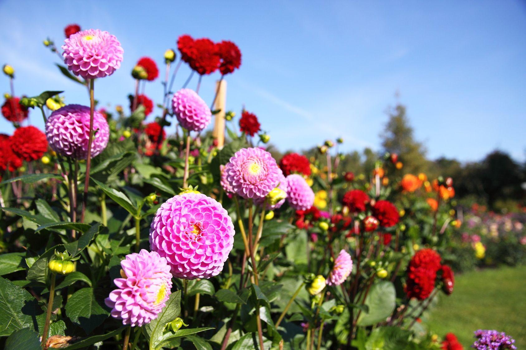 Jakie Kwiaty Kwitna Jesienia Flowers Fall Flowers Plants