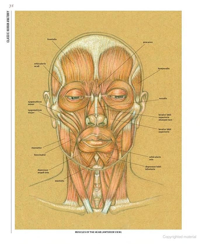 Facial Muscles Classic Human Anatomy The Artists Guide To Form