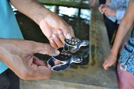 Två dagar gamla sköldpaddor på Sri Lanka
