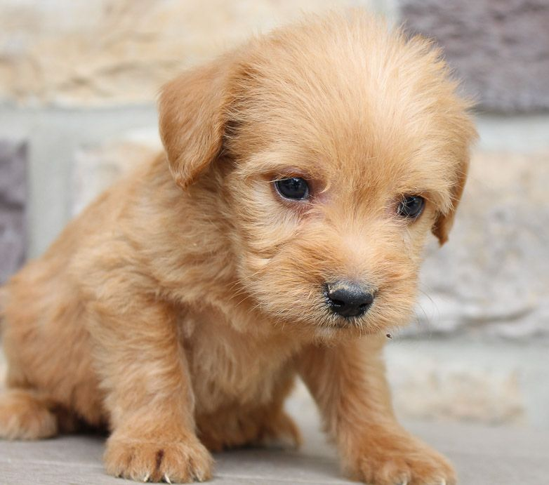 Meet lake labradoodle puppies for sale in new haven