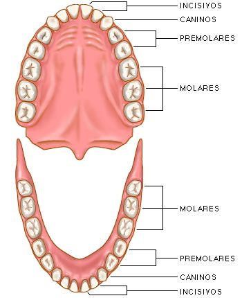 SAIKU ALTERNATIVO: Relación dientes & órganos.