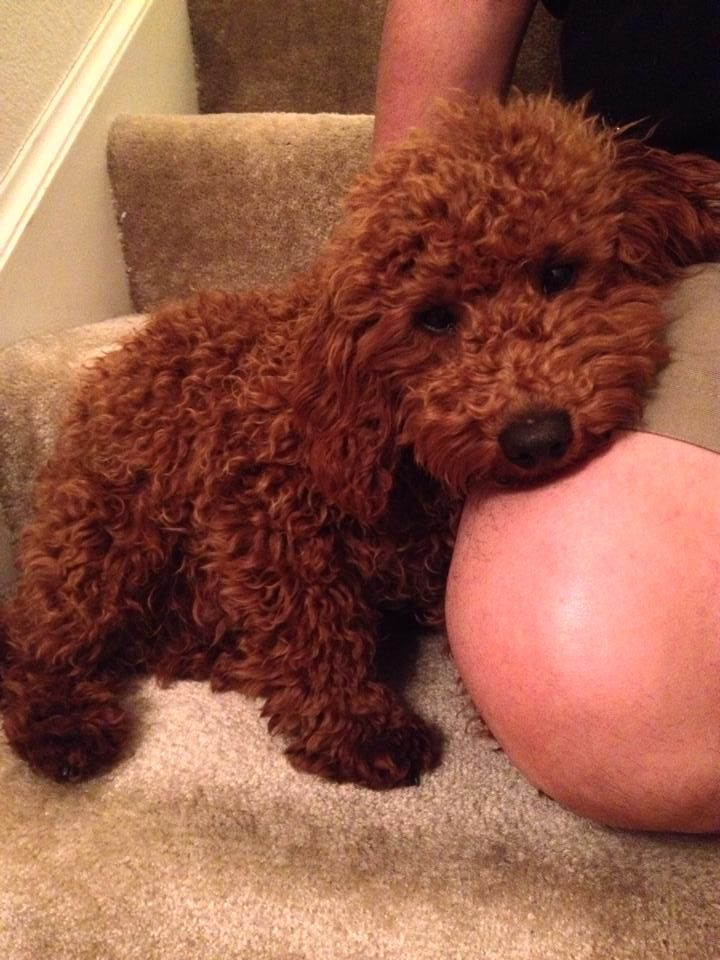 Thunder The Red Akc Mini Poodle Scarlet S Fancy Poodles Red Akc