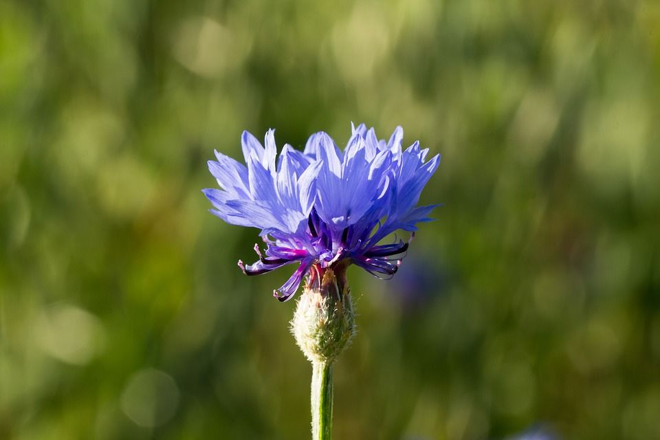 Free Image On Pixabay Cornflower Nature Flower Summer Nature Flowers Free Images