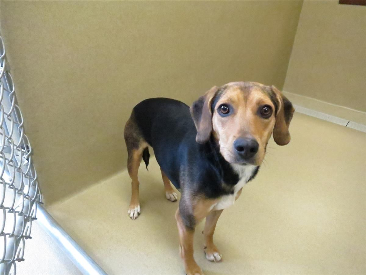 Pin By Lost Dogs Georgia On Dogs Found In Georgia Dogs Beagle