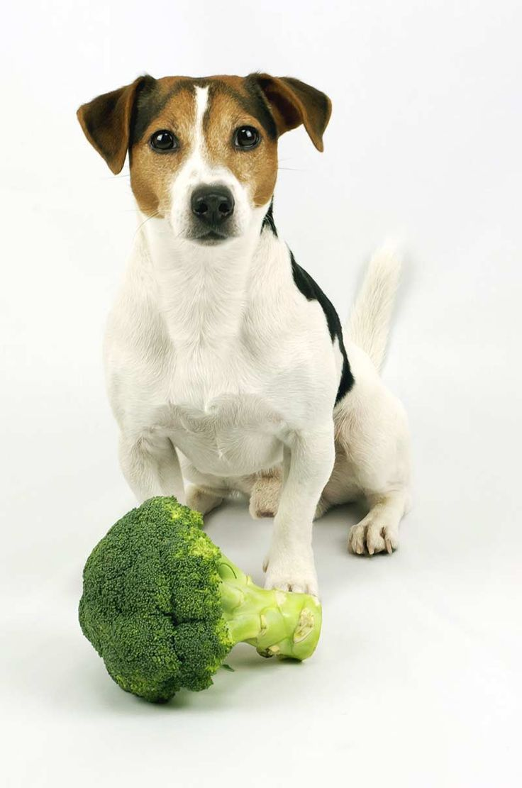 Can Dogs Eat Broccoli Is It Okay To Share This Veg With Your Dog