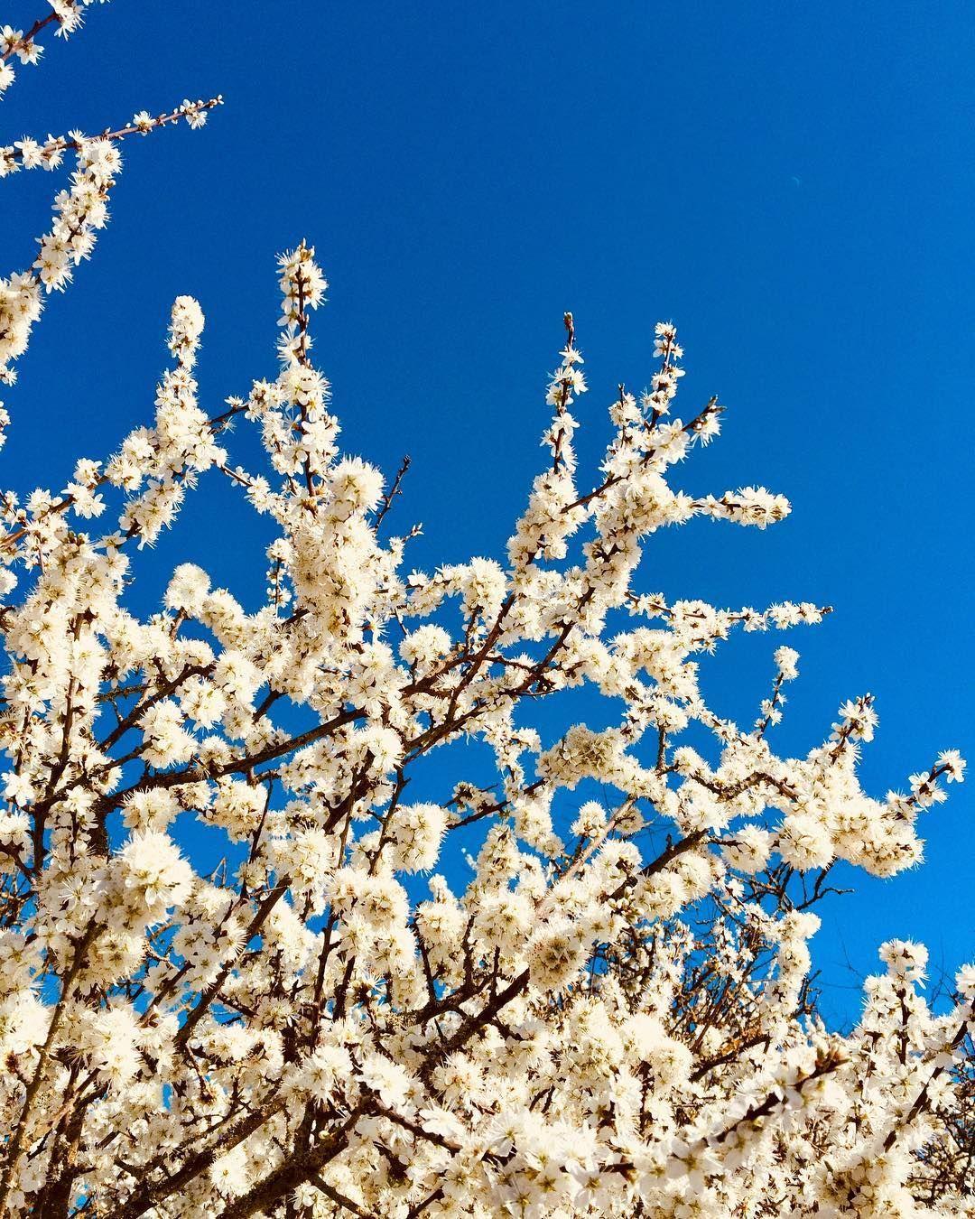 Cherry Blossom Shigetsu Sakura Prunus Serrulata Many Varieties Of This Tree Oc Chester Uk Prunus Serrulata Cherry Blossom Plant Fungus