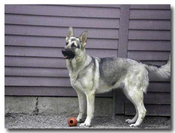 Silver Sable German Shepherds For Sale Sable German Shepherd