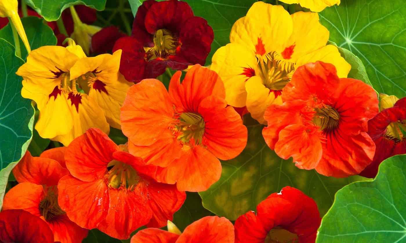 Buy culinary herbs plants nasturtium plants - Buy Culinary Herbs Plants Nasturtium Plants 42