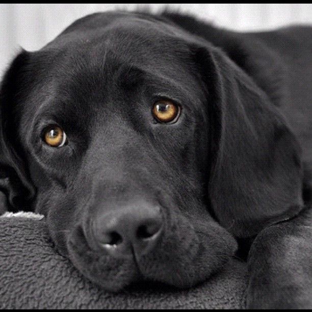 Pin By Karen Rodriguez On Labrador Retievers Beautiful Dog Dogs Black Labrador Retriever Dog Eyes