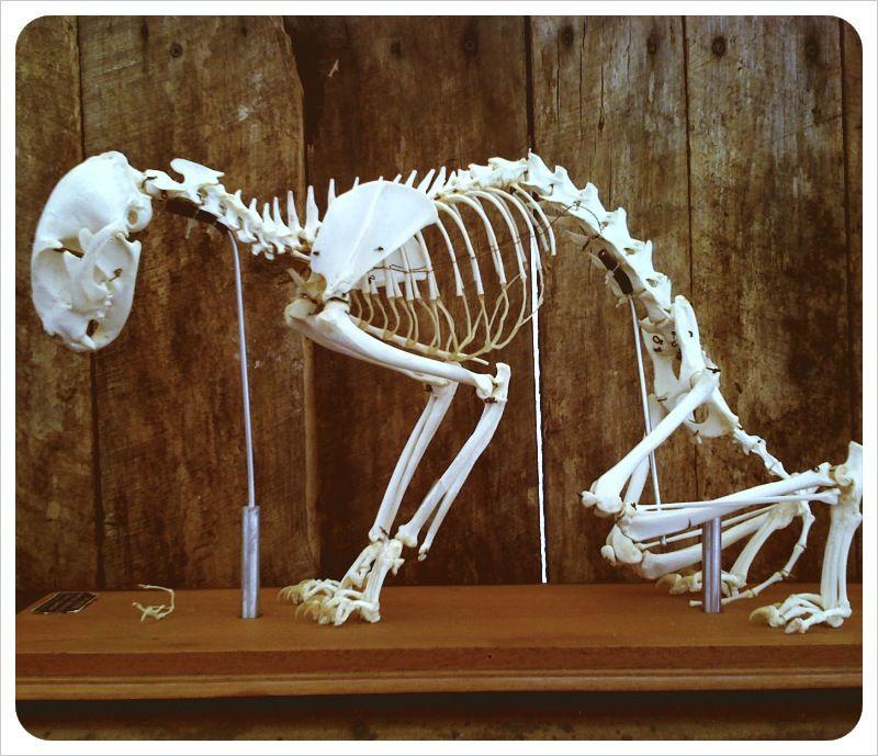 cat skeleton #Brimfield   SKULLS   Pinterest