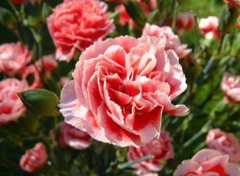 oeillets : semer et planter des oeillets   oeillet fleur, oeillet