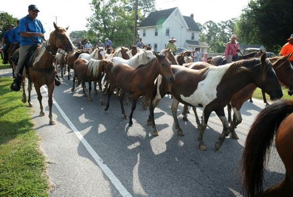 The Chincoteague Ponies
